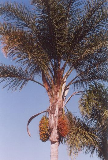 Picture of Syagrus romanzoffianum