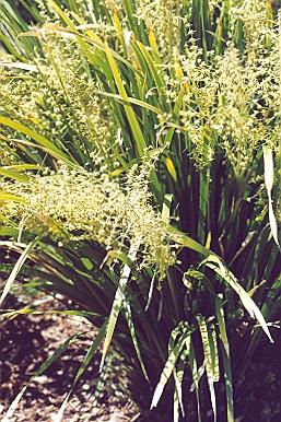 Picture of Lomandra longifolia