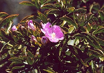 Picture of Pereskia grandifolia