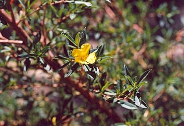 Picture of Hibertea cuneformia