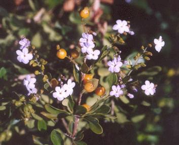 Picture of Duranta erecta