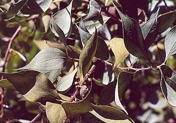 Picture of Hakea petiolaris