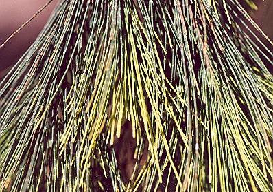 Picture of Allocasuarina torulosa