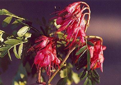 Picture of Schotia brachypetala
