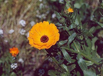 Picture of Pot marigold