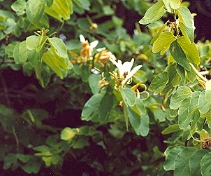 Picture of Bauhinia forficata