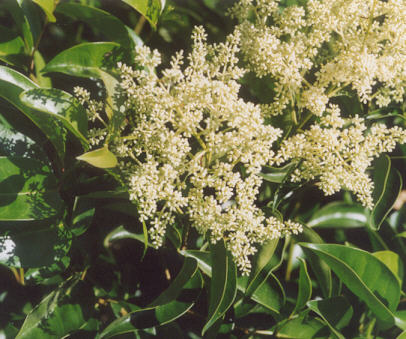 Picture of Ligustrum lucidum