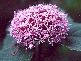 Picture of Clerodendrum bungei
