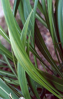 Picture of Setaria palmifolia