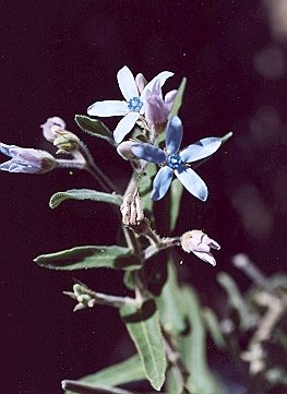 Picture of Tweedia caerulea