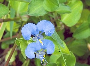 Picture of Commelina sp.