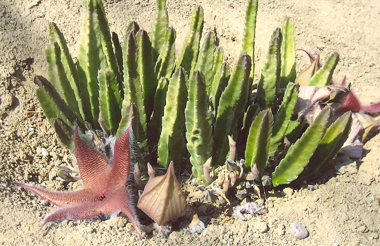 Picture of Stapelia sp.
