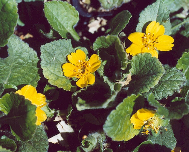 Picture of Chrysogonum virginianum