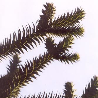 Picture of Araucaria araucana