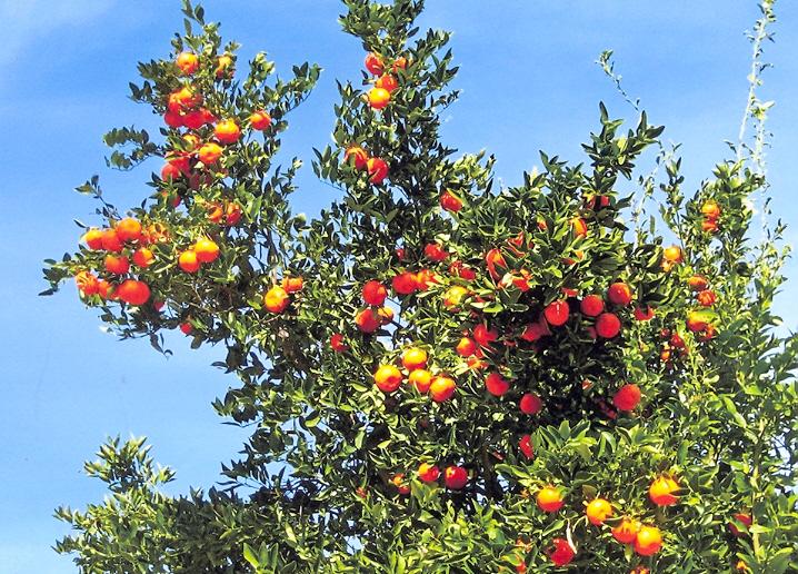 Picture of Citrus x tangerina