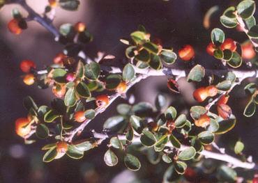 Picture of Cotoneaster divaricatus