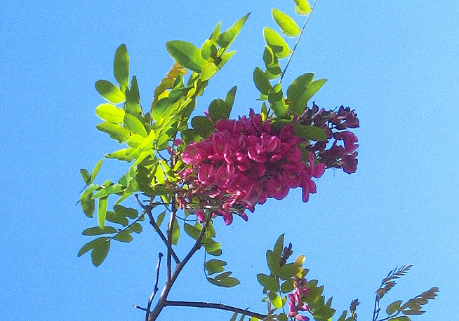 Picture of Robinia hybrid
