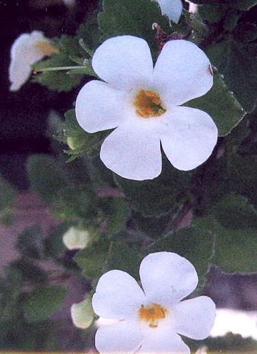Picture of Sutera cordata