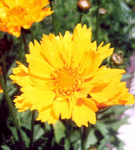 Picture of Coreopsis sp.
