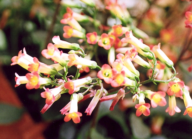 Picture of Kalanchoe sp.