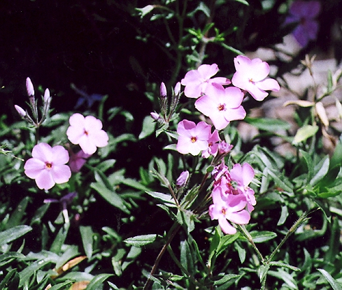 Picture of Phlox drummondii