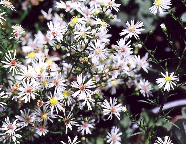Picture of Aster ericoides