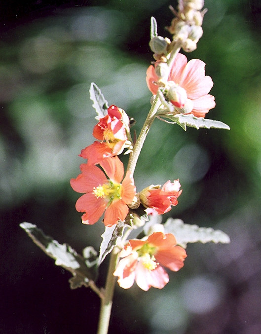 Picture of Sphaeralcea incana