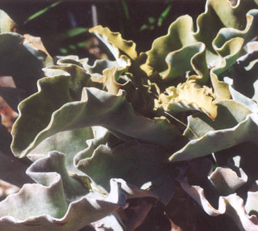 Picture of Kalanchoe beharensis
