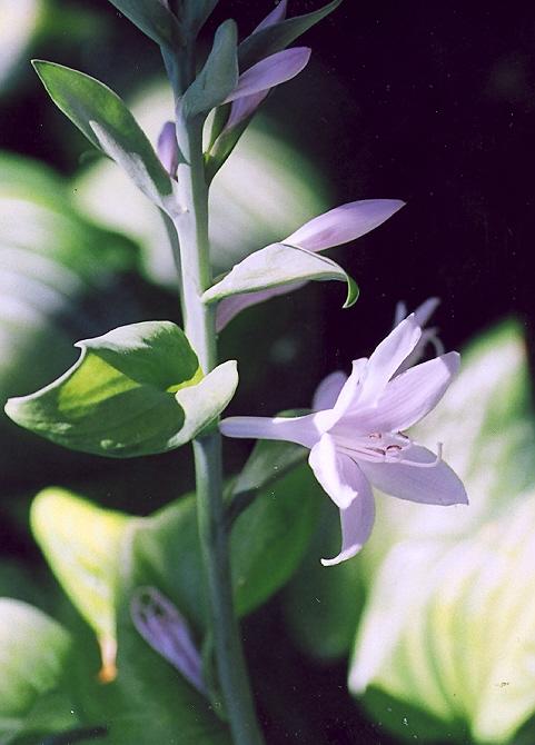 Picture of Hosta x guacamole