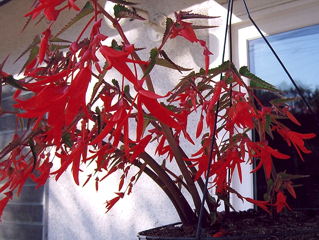 Picture of Begonia boliviensis