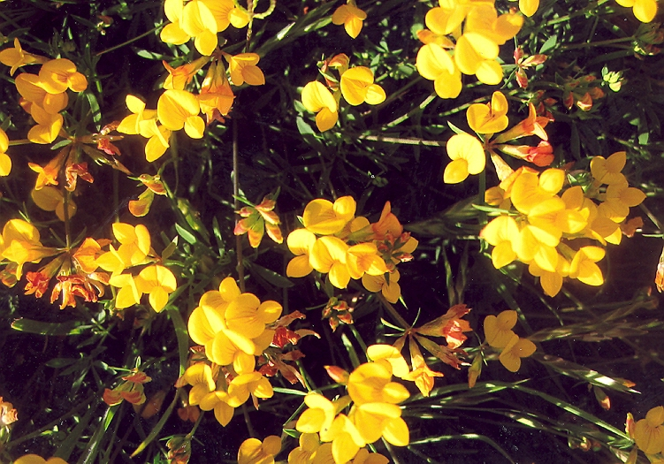 Picture of Lotus corniculatus