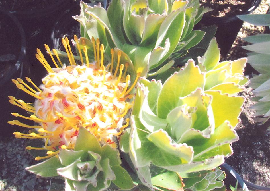 Picture of Leucospermum x veldfire