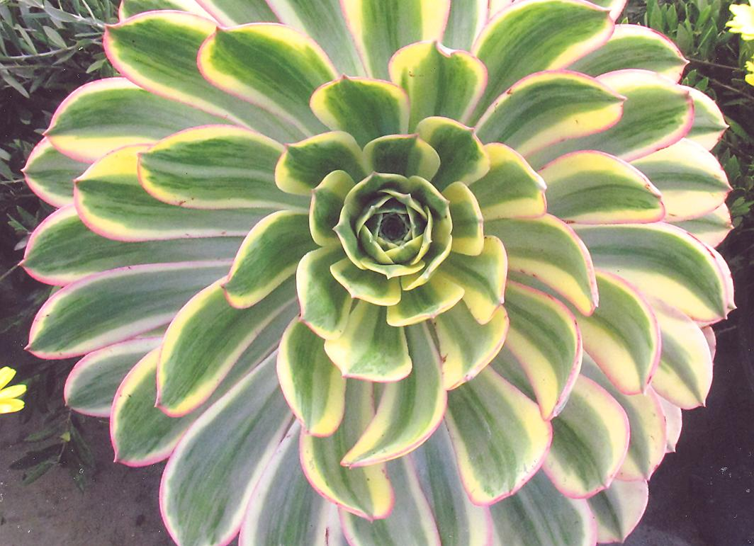 Picture of Aeonium decorum