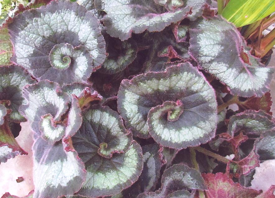 Picture of Begonia escargot