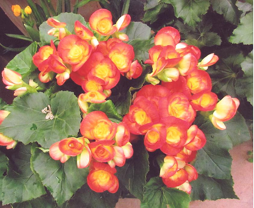 Picture of Begonia hiemalis