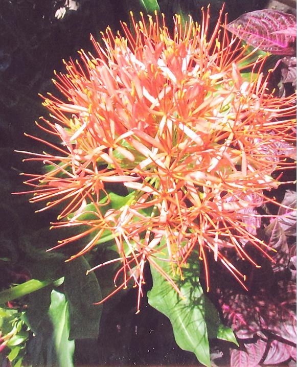 Picture of Scadoxus multiflorus ssp. katherinae