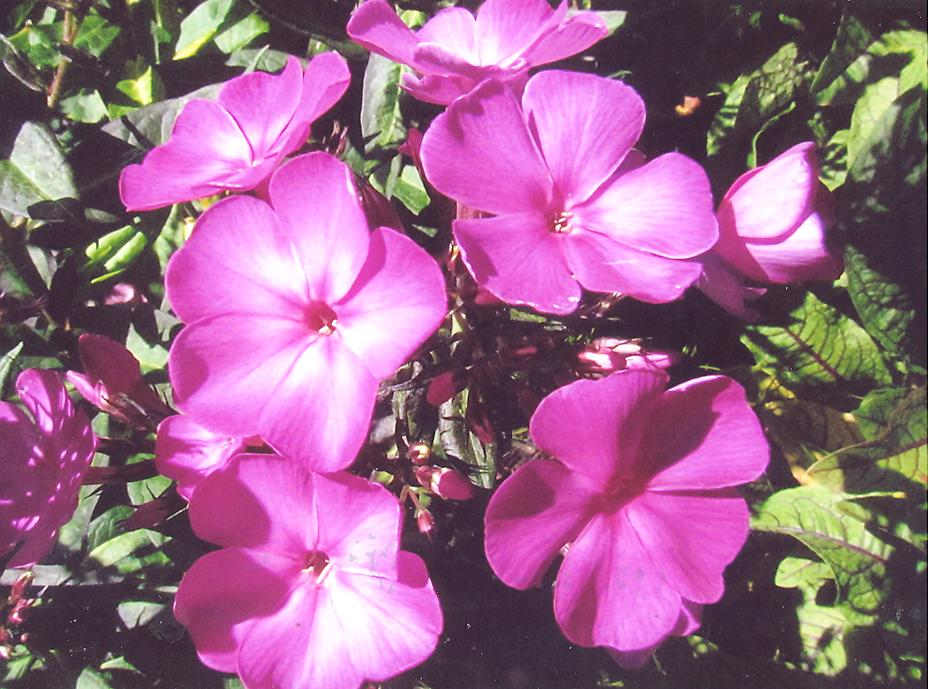 Picture of Phlox paninculata