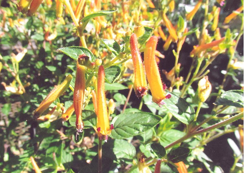 Picture of Cuphia hyssopifolia