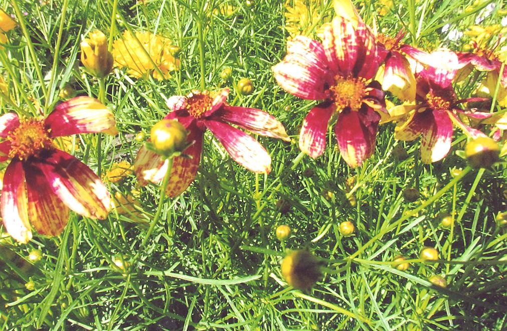 Picture of Coreopsis venticillata