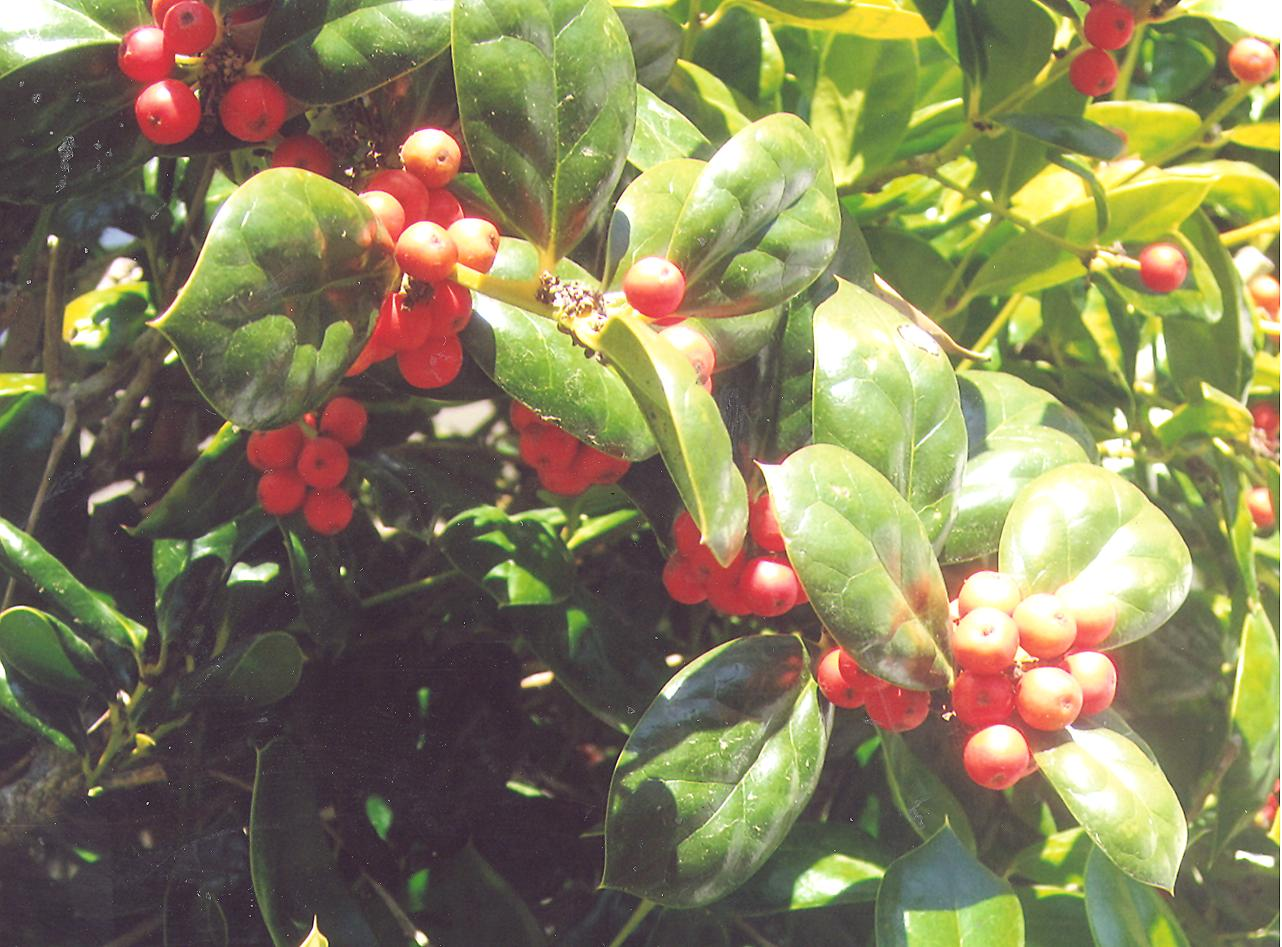 Picture of Ilex cornuta 'burfordii'