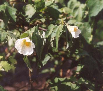Picture of Abutilon hybrid