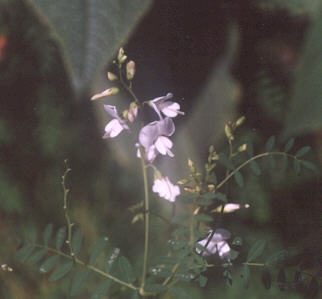 Picture of Swainsonia galegifolia