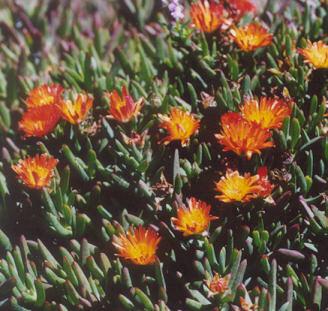 Picture of Lampranthus aureus