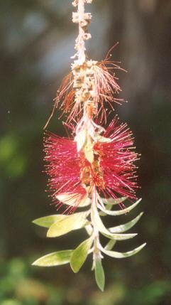 Picture of Callistemon citrinus