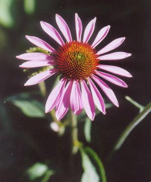 Picture of Echinacea purpurea