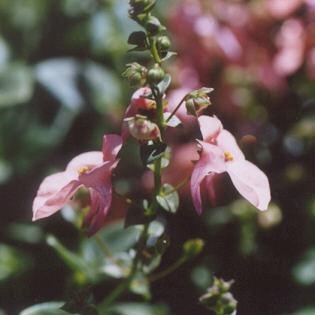 Picture of Diascia hybrid