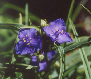 Picture of Tradescantia virginiana