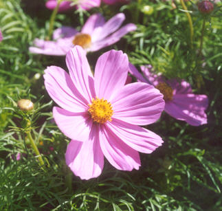 Picture of Cosmos bipinnatus