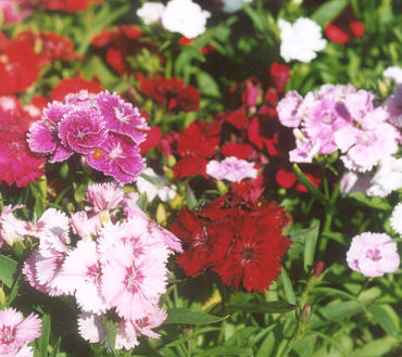 Picture of Dianthus chinensis