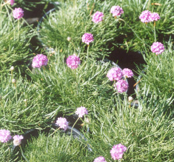 Picture of Armeria maritima